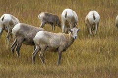 吃草在怀俄明草甸的大角野绵羊 免版税图库摄影