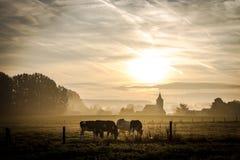 吃草在教会附近的母牛 免版税库存照片