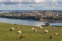 吃草在新西兰海岸上的绵羊 库存图片