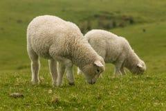 吃草在新鲜的草甸的羊羔 免版税库存照片