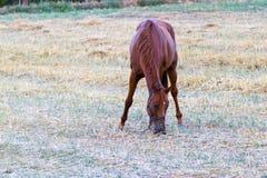 吃草在新鲜的草的布朗马 库存照片