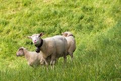 吃草在新鲜的绿草的绵羊 库存图片