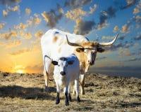 吃草在日出的长角牛母牛和小牛 免版税图库摄影
