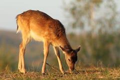 吃草在日落光的鹿小牛 库存图片