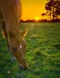 吃草在日落的马 免版税库存图片