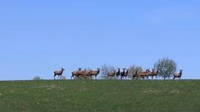 吃草在春天在一个绿色草甸的鹿牧群  在囚禁的野生动物 自然的流行音乐的保护和减少 股票录像