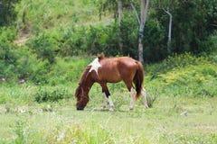 吃草在春天牧场地的海湾马 免版税库存照片