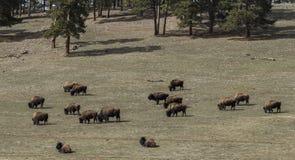 吃草在春天的一个领域的野生水牛城牧群 免版税库存照片