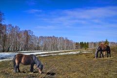 吃草在春天草甸的两个马和小马 免版税库存照片