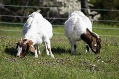 吃草在春天草甸的两只山羊 库存图片
