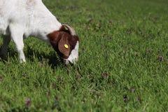 吃草在春天草甸的山羊 免版税库存照片