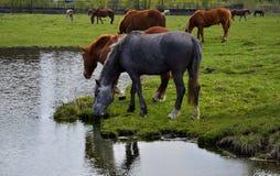 吃草在春天草甸的马 图库摄影