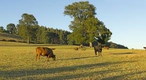 吃草在智利安地斯的牧场地的母牛 免版税库存图片