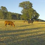吃草在智利的母牛 免版税库存照片