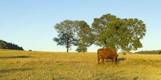 吃草在智利的母牛 免版税库存图片