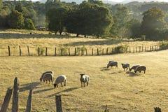 吃草在智利的绵羊 免版税库存照片