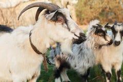 吃草在有两只小灰色和白色山羊的一个草甸的山羊在村庄 库存图片
