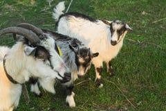 吃草在有两只小灰色和白色山羊的一个草甸的山羊在村庄 免版税库存照片