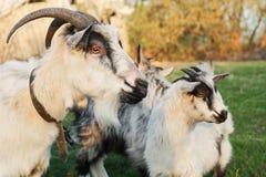 吃草在有两只小灰色和白色山羊的一个草甸的山羊在村庄 免版税库存图片