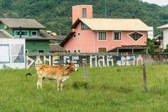 吃草在有些房子附近的Bown母牛 库存图片