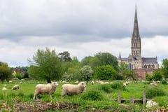 吃草在有萨利大教堂的草甸的绵羊背景的 库存图片