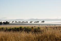 吃草在有薄雾的清早的牛 免版税库存照片
