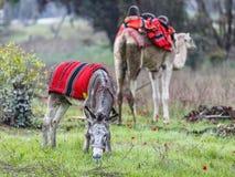 吃草在有银莲花属的一个绿色草甸的驴 免版税库存照片