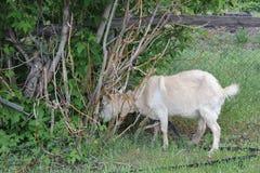 吃草在村庄的被束缚的山羊 库存照片