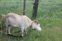 吃草在村庄的被束缚的山羊 免版税库存图片