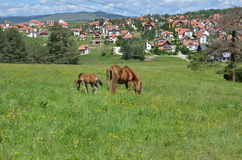 吃草在村庄附近的两匹马 库存照片