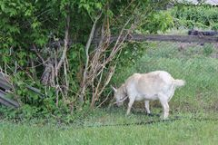 吃草在村庄30706的被束缚的山羊 图库摄影