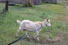 吃草在村庄30721的被束缚的山羊 免版税库存图片