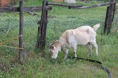 吃草在村庄30726的被束缚的山羊 免版税库存图片