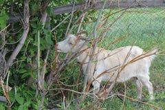 吃草在村庄30713的被束缚的山羊 免版税库存照片