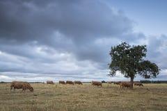 吃草在树下的母牛 免版税图库摄影