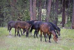 吃草在森林里的野生野马马牧群  免版税库存照片
