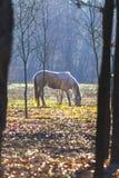 吃草在森林里的马 免版税图库摄影