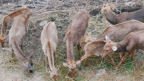 吃草在森林里的鹿牧群  股票视频