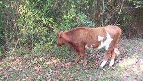 吃草在森林里的滑稽的小牛 股票视频