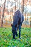 吃草在森林里,在眼睛的浅DOF焦点的马 免版税库存照片
