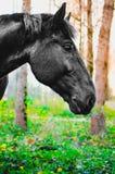 吃草在森林里,在眼睛的浅DOF焦点的马 图库摄影