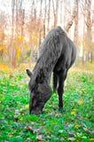 吃草在森林里,浅DOF的马 库存图片