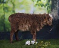 吃草在森林附近的布朗绵羊 免版税库存照片