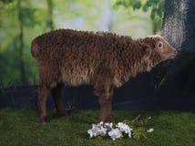 吃草在森林附近的布朗绵羊 图库摄影