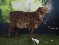 吃草在森林附近的布朗绵羊 库存照片