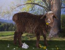 吃草在森林附近的布朗绵羊 免版税库存图片
