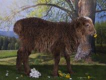 吃草在森林附近的布朗绵羊 免版税图库摄影