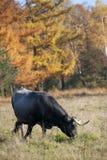 吃草在森林附近的母牛 库存图片