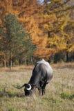 吃草在森林附近的母牛 库存照片