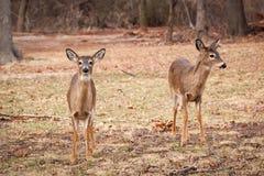 吃草在森林附近的白被盯梢的鹿 免版税图库摄影